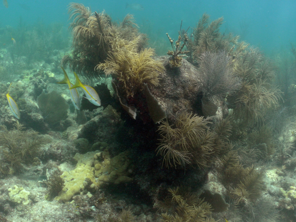 Looe Key Reef (Mooring 11, 16 Aug 2014) 0152