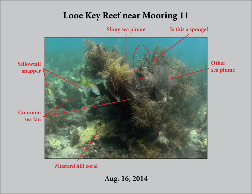 Species IDs for Looe Key Reef, Mooring 11 (Aug. 16, 2014), Image 0152